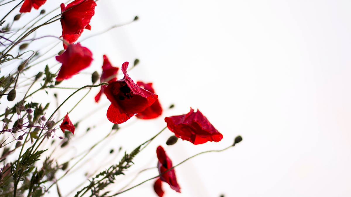 Close-up, selective focus photograph of red poppies in bloom in a field. Image credit: Monica Galentino at Unsplash