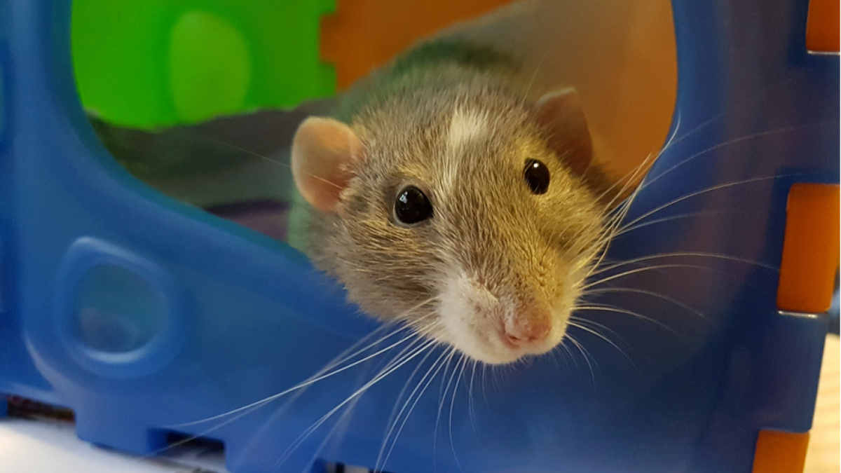 Pet rat poking its head out of colorful playset in its cage. Image credit: Annemarie Horne via Unsplash