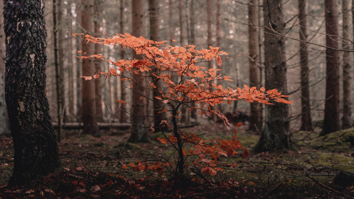 Photograph of small sapling with orange fall foliage standing amid much taller trees. Image credit: Samuel Bryngelsson/Unsplash