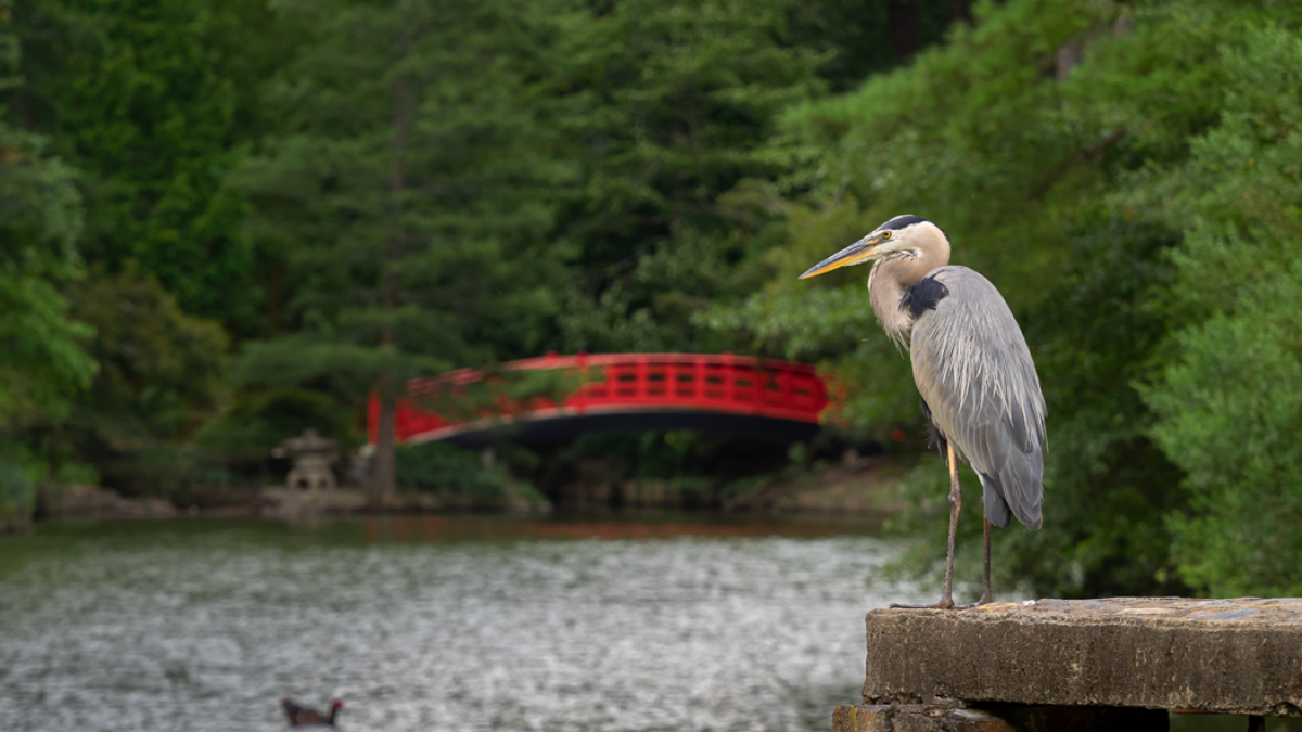 Blue heron standing in the foreground overlooking a pond, with a red footbridge and green trees in the background at Sarah P. Duke Gardens at Duke University, Durham, North Carolina. Image credit: Bill Snead. Copyright Duke University